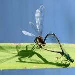 Libellule 2011-05-17 082c